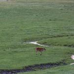 Hover calf