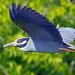 Yellow-crowned Night Heron by Brian E Kushner