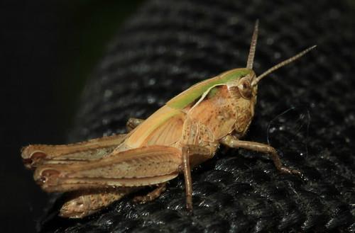 Grasshopper 29704