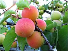 Blenheim apricots, 6/2/14