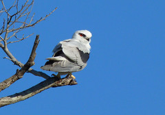 Black Shouldered Kite OR Letterwing??
