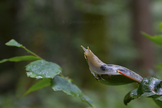 {wild isle wednesday} Banana Slug