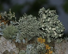 Lichens on fruit tree bark