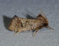 # 0383 – Acrolophus texanella – Texas Grass Tubeworm Moth