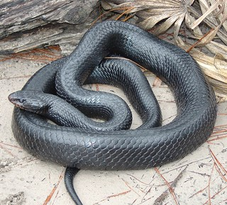 Eastern_Indigo_Snake