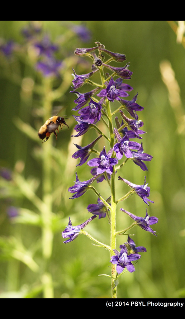 Bombus sp. visiting Tall Larkspur (Delphinium barbeyi)