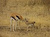 Baby Thomson's gazelle and mother 2