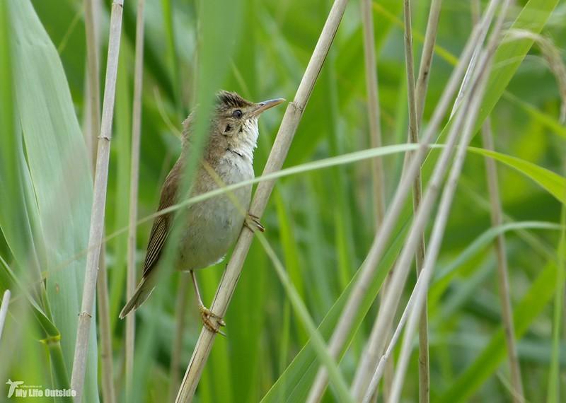 P1080098_2 - Reed Warbler, Newport Wetlands