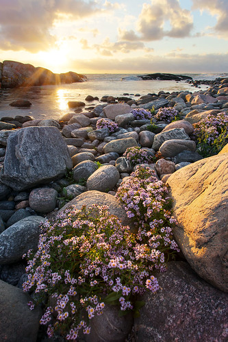 ocean flowers sunset sea sky clouds island coast sweden stones sverige canonef1740mmf4lusm archipelago skärgård västragötaland hönö öckerö canoneos6d
