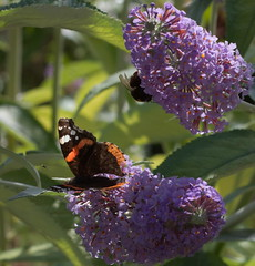 Red admiral and bumblebee