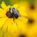 Black-eyed susan (Rudbeckia hirta) nad Bumble Bee (Bombus bimaculatus) by ER Post