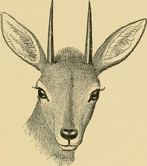 "Image from page 96 of ""Horn measurements and weights of the great game of the world: being a record for the use of sportsmen and naturalists"" (1892)"