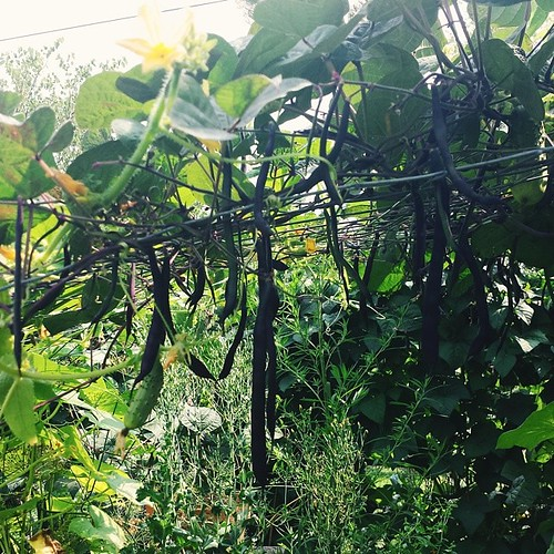 I love this spot where the beans and cornichon cucumbers meet in the middle of the trellis #garden2014