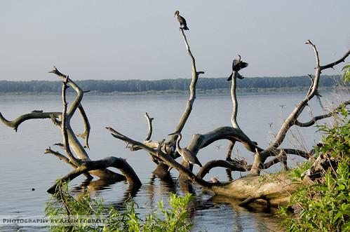 anhinga bird cormorant florida gainesville heron wildlife unitedstates