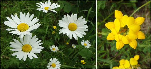 daisy and birds-foot trefoil