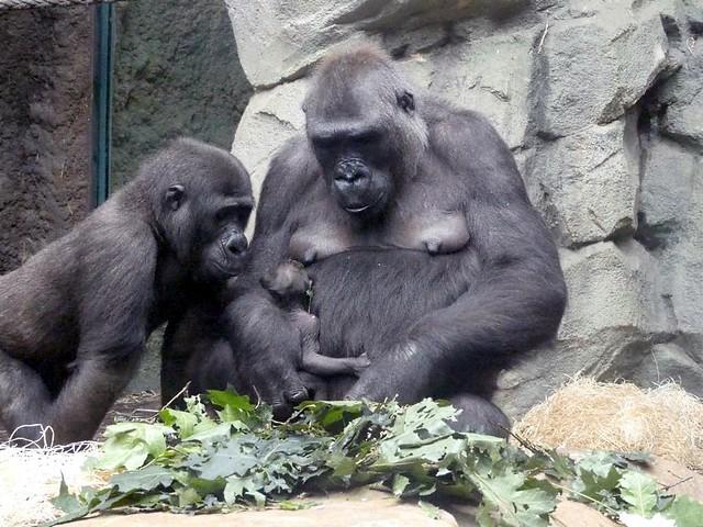 Sawa, Dian + Baby, Zoo Frankfurt