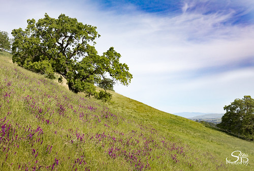 borgesranch california farm mountdiablo oak trees unitedstates walnutcreek hairyvetch viciavillosa oaktree wildflower 2017borges