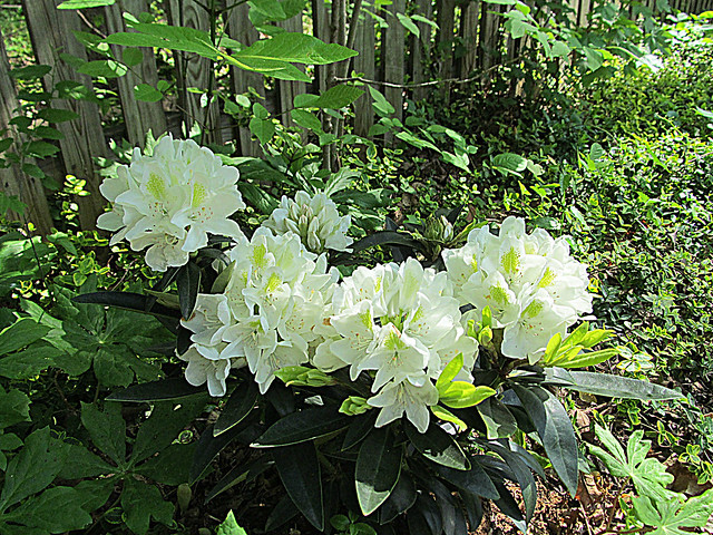 White Rhododendron cluster, Canon POWERSHOT SX150 IS