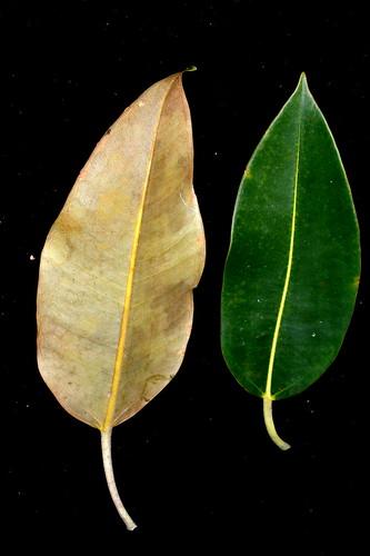 Ficus pleurocarpa DSC_0369 (8)