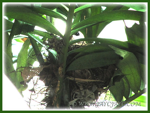 Pycnonotus goiavier (Yellow-vented Bulbul) incubating its eggs, March 31 2014