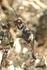 Red head - Carpenter ant