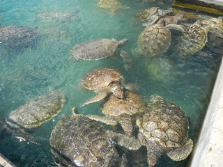Breeding Pool at the Turtle Farm