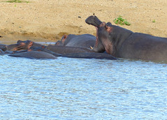 Hippos (Hippopotamus amphibius)