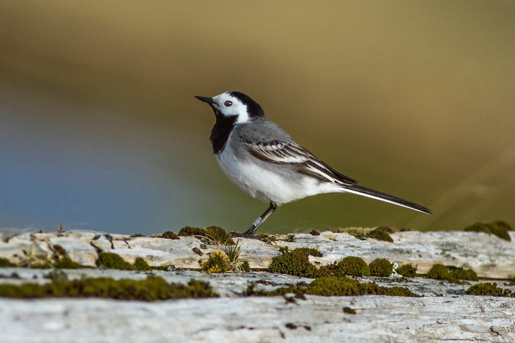 Maríuerla / White Wagtail