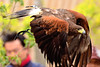 Harris Hawk, Ryoma of Bird Show at Yokohama Zoological Gardens / ズーラシアのバードショー by Dakiny