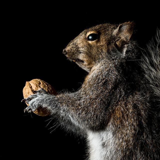 A Squirrel & His Nut