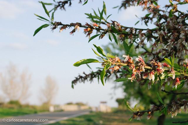 Cerezos en flor (marchita)