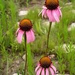 Echinacea-angustifolia-1a
