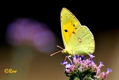 Papillons / Chenilles -  Butterflies / Caterpillars