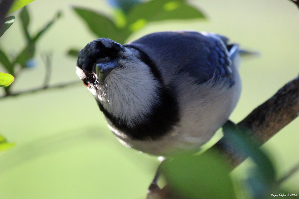 Bluejay_7991_Adjust