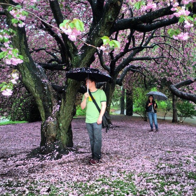 Raining cherry blossoms (color)