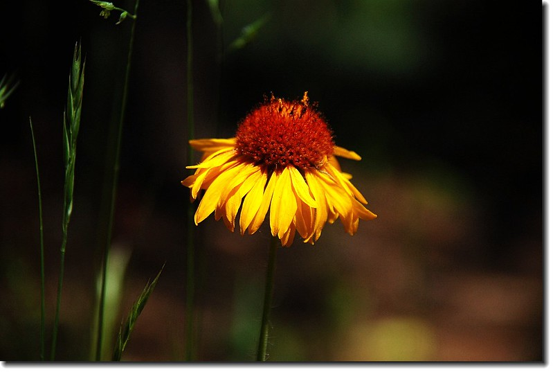 Tall Coneflower(Cutleaf Coneflower) 5