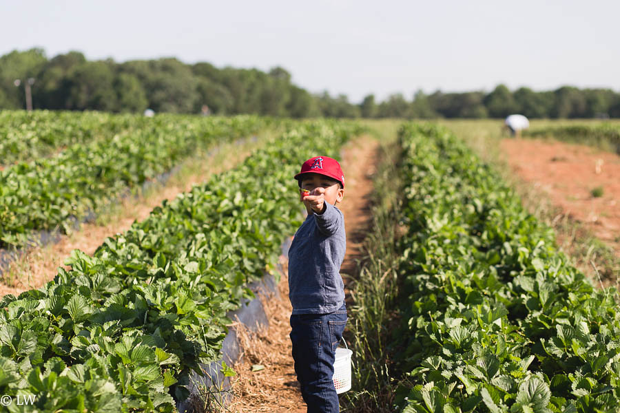 southern belle farm strawberries-3