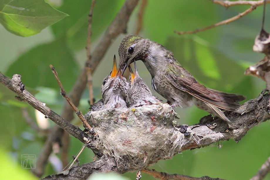 Anna's Hummingbird nest 052214