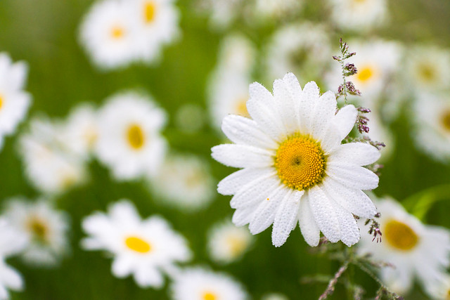 Daisy, Flower, Flowers, White