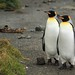 Two King Penguins Absorbing the Day  Subantarctic Macquarie Island Australia by eriagn