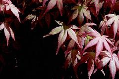 Acer palmatum 'Beni Chidori'