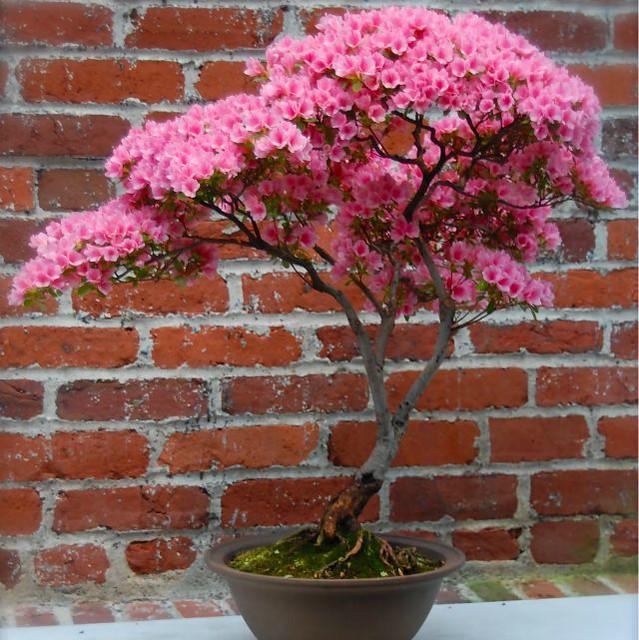 1planta azalea.jpg