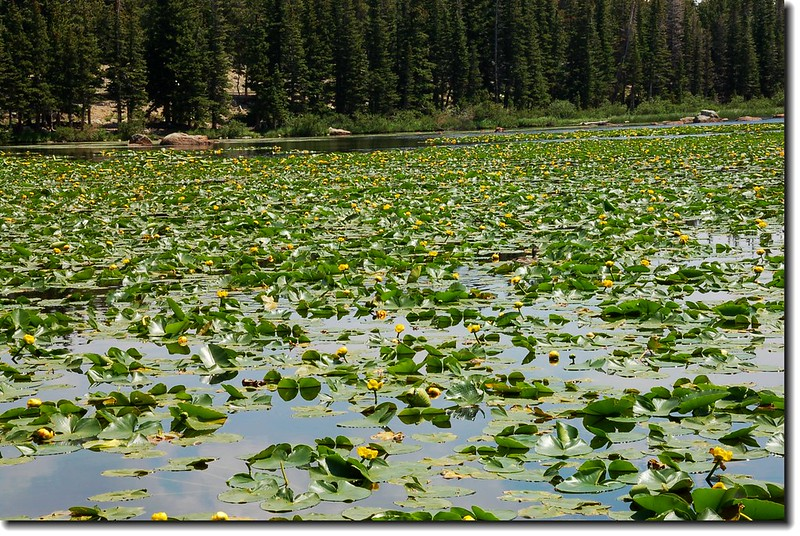 Yellow Pond Lily 7