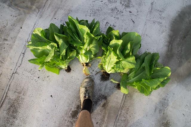 Lettuce Harvest_1