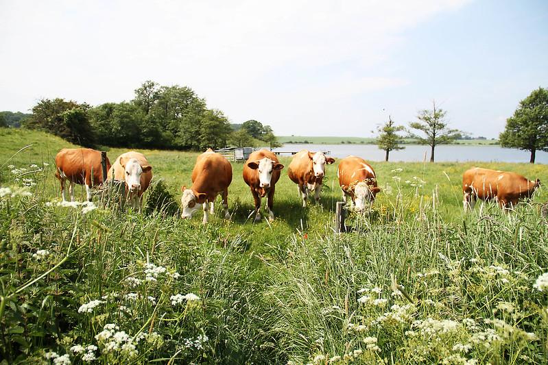 ett gäng stirrande kor i grönby.