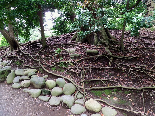 Hama-Rikyu Garden Tree Roots and Stones