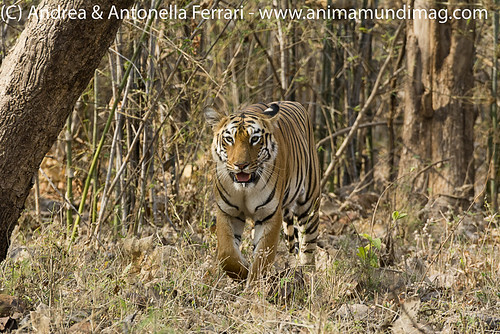 reefwondersdotnet posted a photo:	Adult tigress Panthera tigris, Tadoba NP, Maharashtra, India,
