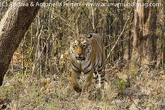 Royal Bengal tiger Panthera tigris