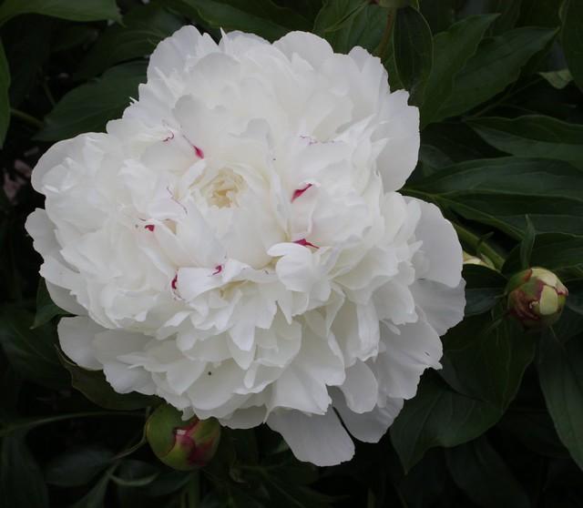 festiva maxima peony in bloom