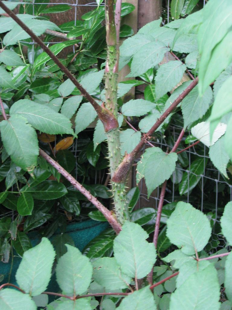 Aralia echinocaulis